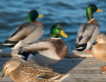 duck_site