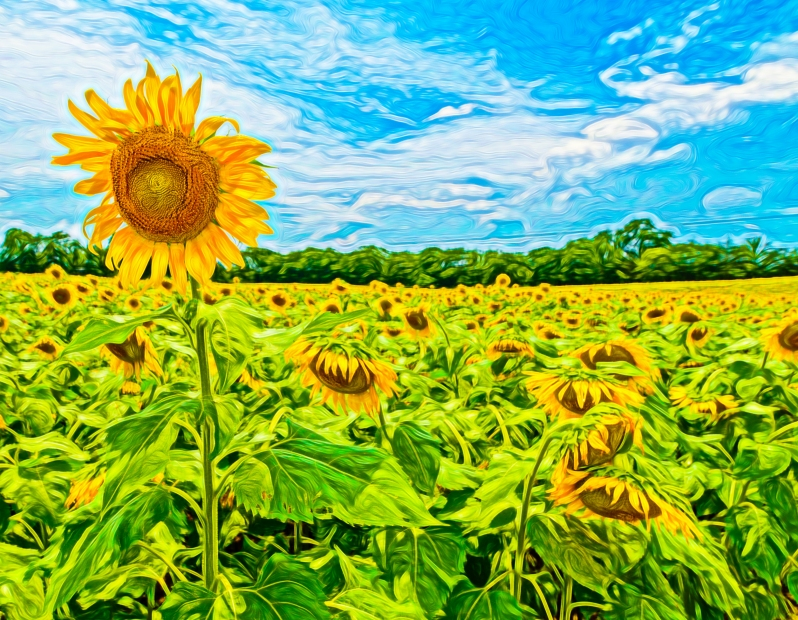 Photo of Sunflower of TN